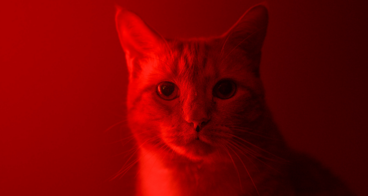 Red Rogerian Cat, photo: Pejvak Samadani/Unsplash